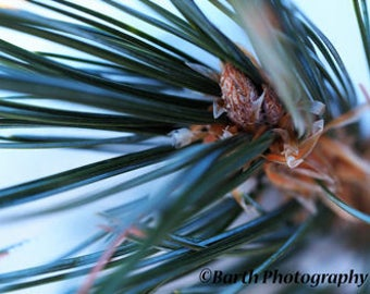 Art Photograph-- Pine Tree--Gifts for men women, for her, him, forest, path, color, macro, deco, minimalist, nature, decor, wall art, prints
