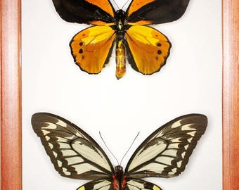 Exotic Ornithoptera croesus pair In the frame of the current breed of good wood