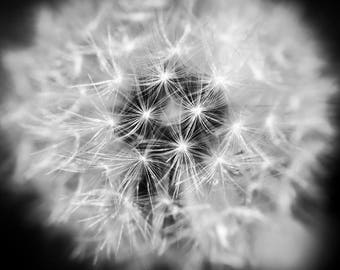 Dandelion plant close up macro black and white photograph