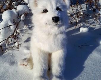 Puppy Samoyed Laika.