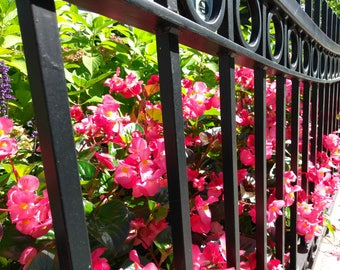 Pink flowers through wrought iron fence