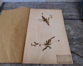 Antique-1887-1889-French-herbarium Hieracium Pillosella