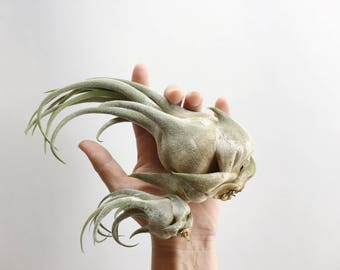 Tillandsia Air Plant Seleriana // Air Plant / Air Plants / Modern / Unusual / Beach / Rare / Silvery Green Soft Leaves / Collector / Love