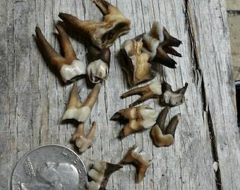 Small Molar Teeth- Cow Bison Elk Deer- Antiqued Real Teeth - Lot No. 170610-W