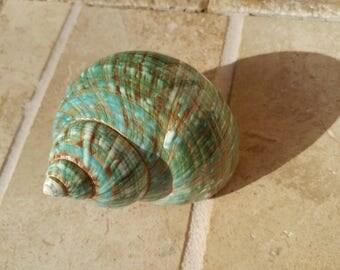Turbo Shell -  Jade Turbo Shell - Natural Turbo - Polished Jade Seashell - Polished Jade Turbo - Pearlized Shell - No. 215