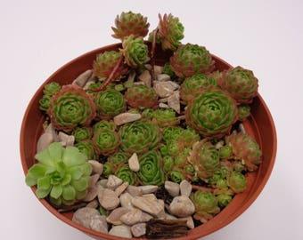 Rosularia Platyphylla  Cluster
