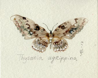 Butterfly Thysania agrippina WATERCOLOR original, small butterfly illustration,