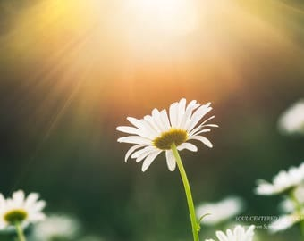 Flower Photography, White Daisy, Fine Art Print, Sunlight, Rays of Light, Soft, Dreamy, Mother's Day, Healing Art, Heavenly, Home Decor