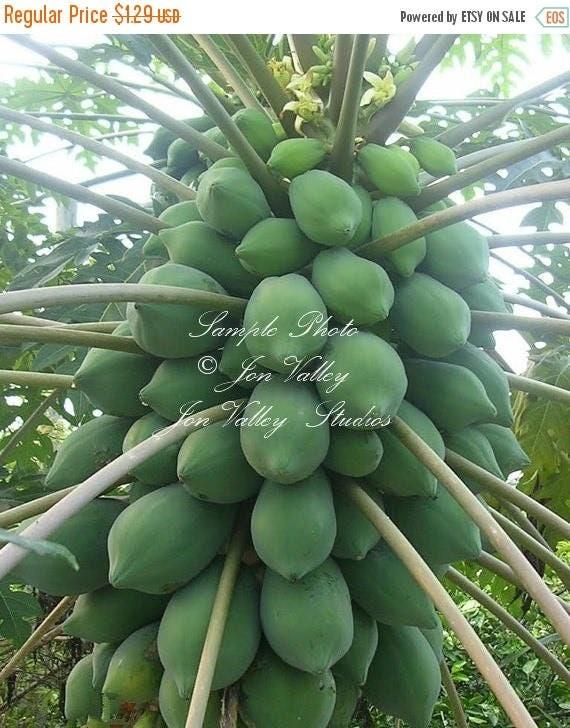 how to grow a papaya tree indoors