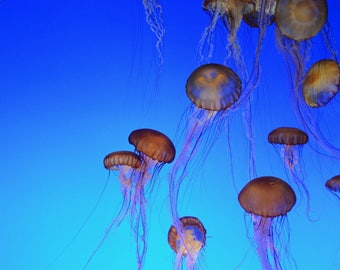 Special Sale!!  Color Photo of Jellyfish Vibrant Color Wall Art, Featured on National Geographic, Deep Sea Floating Jellyfish, 16 x 20 Print