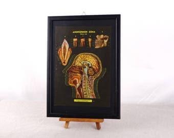 Head Anatomy, Human Head Poster, Anatomy Print, Medical Decor, Human Anatomy Poster, Human Teeth Poster, Dentist Poster, Human Teeth Art