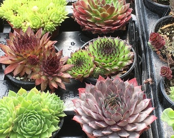 Sempervivum Hens & Chicks 6 plant collection in 9cm pots