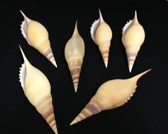Tibia Shell - Tibia Martini - Specimen Shell - Tibia - Tibia Seashell - Display Shell -
