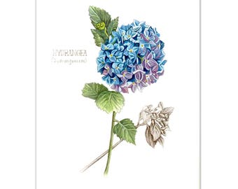 Hydrangeas Watercolour painting - Limited edition prints (100 only)
