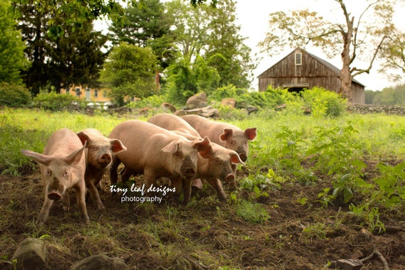 Pigs at Stevenson Farm original photography , Sutton, MA 8x10 and 8x12 print 8x12 and 10x20 standout