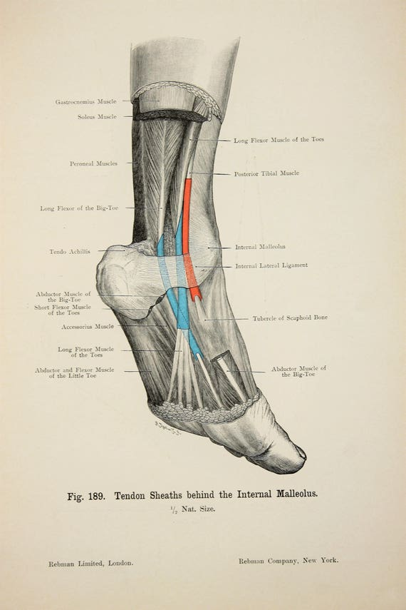 Feet Ankles Arteries Veins Nerves c.1900 DOUBLE SIDED