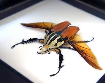 Real insect taxidermy Mecynorrhina oberthuri unicolor / home decor art bugs butterfly nature gift specimen beetle