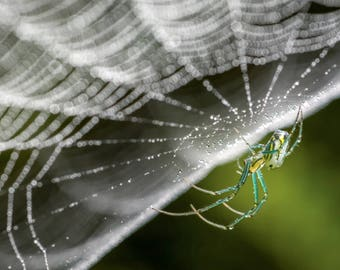 Digital Download: Orchard Spider photo