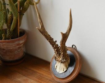 Old deer trophy