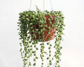 "LARGE String of Pearls Plant 6"" Hanging Succulents Succulent Terrarium Plants Exotic Succulent Basket Senecio Rowleyanus Hanging Plant"