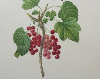 Redcurrant Vintage Botanical Print - P J Redoute - Fruits and Flowers - 1960s - Coloured - Ribes rubrum - Groseiller rouge