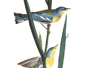 Audubon's Plate 15 Blue Yellow-Backed Warbler Cross Stitch