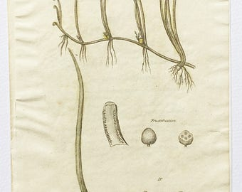1812 Dr Thorntons Flora, Pillwort, Pilularia Globulifera, Botanical bookplate, Page 343, Copper engraving, Hand coloured botany print