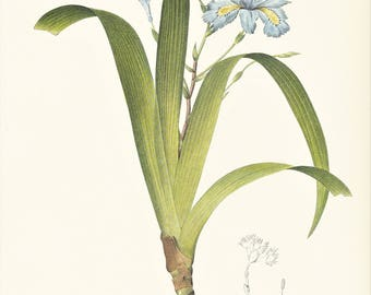 Iris fimbriata blue flower botanical print vintage illustration by Redouté gift for gardener plant lover cottage decor  8.5 x 12 inches