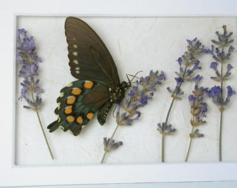 Pipevine butterfly with lavendar -Real Framed butterfly