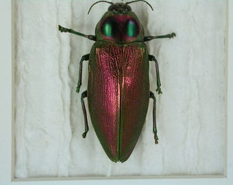 Giant metallic buprestid beetle and Frog beetle - Real Framed Insects