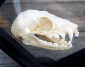 Fruit Bat Skull