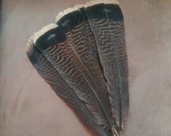 Wild turkey feathers, 5 piece craft feathers, native american crafts,