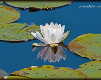Water Lily in the Sun