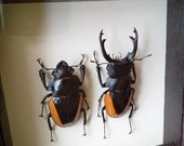 Framed Specimens - Chinese Stag Beetle Pair - Odontolabis fallaciosa