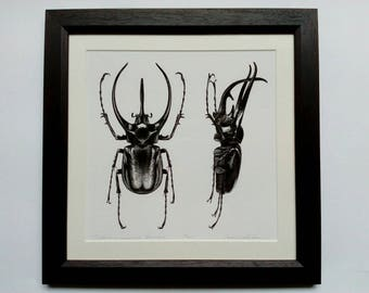 Framed limited edition art print - Chalcosoma caucasus