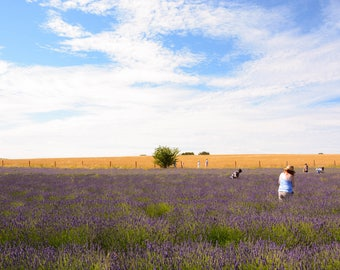 Lavender Fields A4 photo print with white border