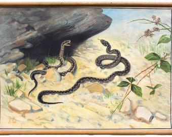 Common viper, educational chart , 1903