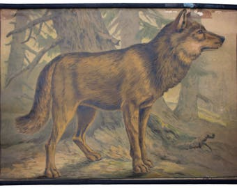 Rare educational chart, wolf, Lithograph, Karl Jansky, Böhmen, 1897