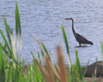 Bird in the Water in Colorado, Original Nature Photography