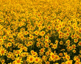 California Superbloom II: WALL ART Fine Art Photography Carrizo Plain SoCal Landscape Natural Bright Dramatic Color Spring Wildflowers