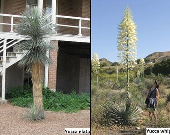 Yucca (7 species) / Very cold hardy / 10 seeds per pack