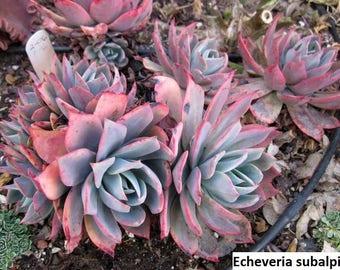 Echeveria subalpina / 20 seeds
