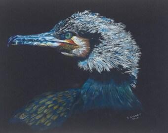 Male Cormorant - Plumage
