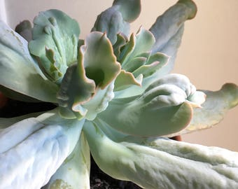 "Large succulent plant: Echeveria ""Culibra"" caruncle with curled leaves"