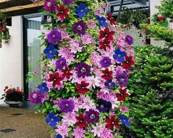 50 Seeds 24 Colours Beautiful Clematis Flower Clematis Climbing Plants Seeds Home Garden Decor