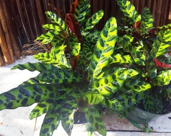 """Calathea Lancifolia 'RATTLESNAKE PLANT' in a 6"""" pot Indoor/House Plant"""