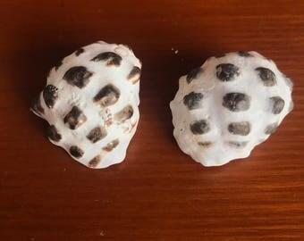 Hawaiian mulberry drupe, lot of 2 large Hawaiian drupe shells, hawaiian seashell, hawaii shells, jewelry supply, craft supply