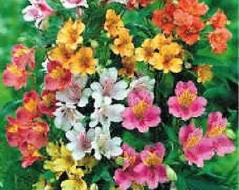 20 PERUVIAN LILY MIX Alstroemeria Dr Salters Mixed Colors Flower Seeds *Comb S/H