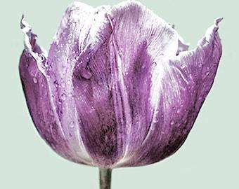 Lilac Tulip Greetings Card