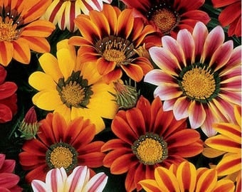 40+  GAZANIA SUNSHINE MIX / Deer Resistant / Early Summer to Frost Non Stop Bloom Flower Seeds